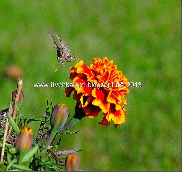 perhonen  sudenkorentoja 047