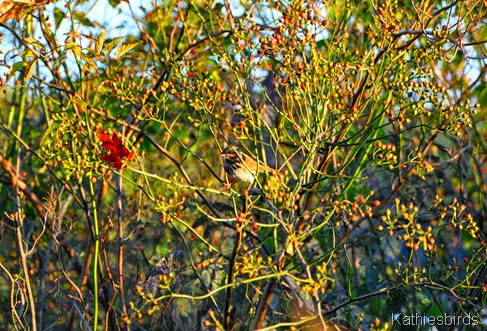 3. song sparrow-kab
