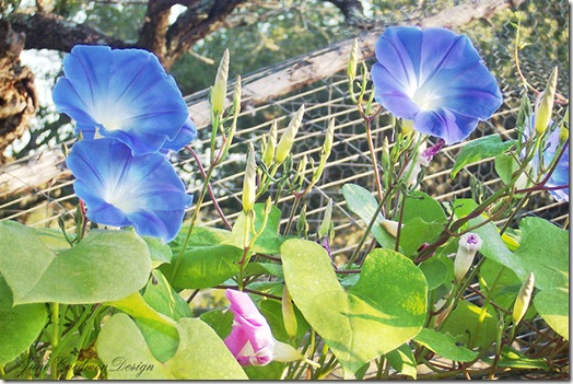 Morning_Glories2