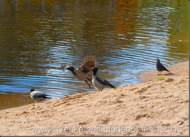 itikoita varikset kylpee h tiainenn 097