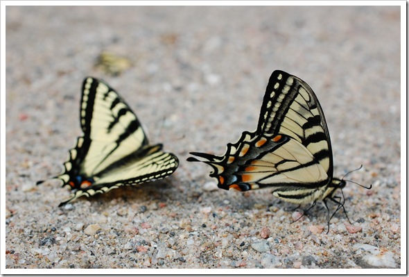 BUTTERLY SWALLOWTAIL