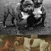 oldtimebulldogs.jpg