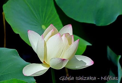 Glória Ishizaka - ninféia - flor de lotus
