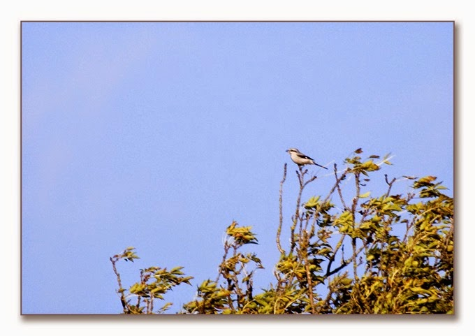 Local Birds 1  G G Shrike 1