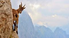 goat untamed