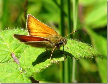 20110704 BHW Essex skipper 005