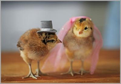 polluelos-boda