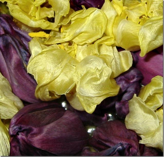 Tulipanhoder i vann2