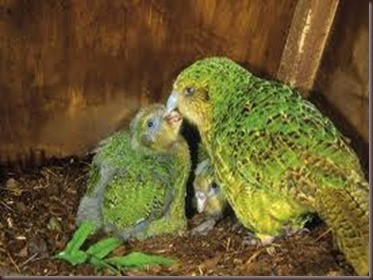 Amazing Pictures of Animals photo Nature exotic funny incredibel Zoo Kakapo birds Aves. Alex (4)