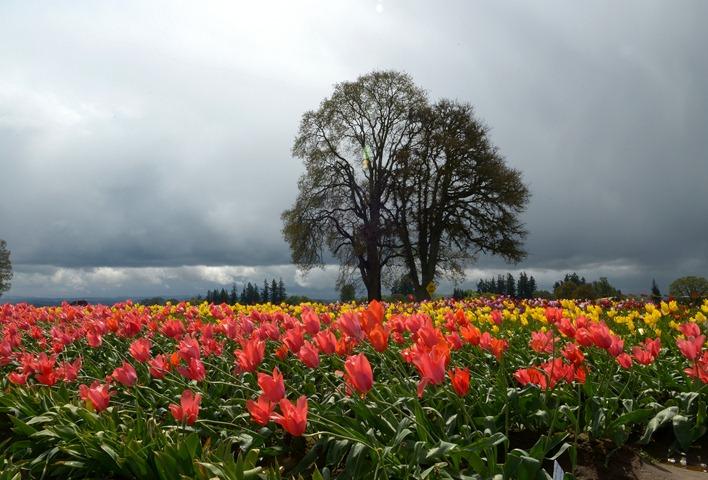 Woodburn Tulips_002