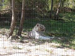 2007.09.14-015 tigre blanc