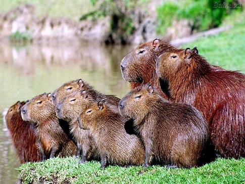 Capybara 06