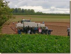 In het veld tussen Liek en Batsheers: planters aan het werk