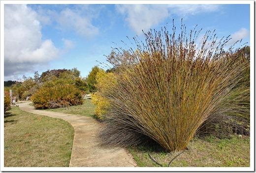 120211_UCSC_Arboretum_Chondropetalum-tectorum_06