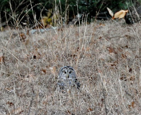4. Barred owl-kab