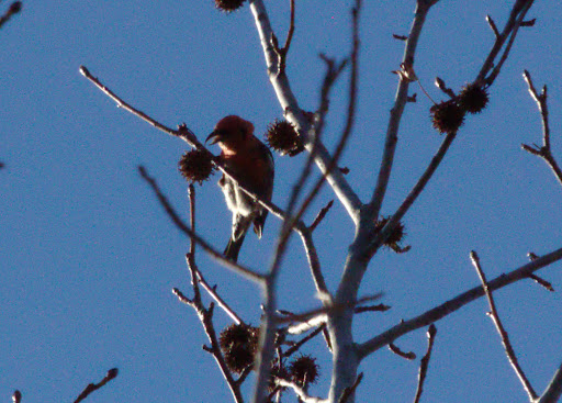 Two males were present, eating in the sweet gum trees