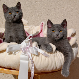 Imeros and Iriscos by Serge Ostrogradsky - Animals - Cats Playing ( chartreux brothers )