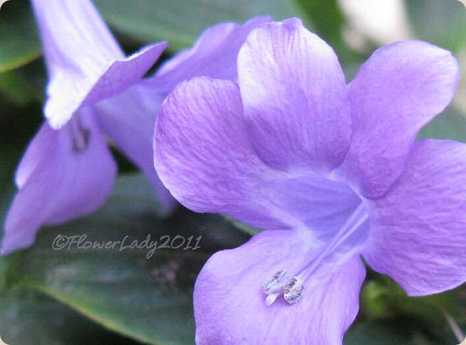 10-03-phillipine-violet2