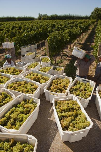 BDFM Cosecha uva blanca Chardonnay