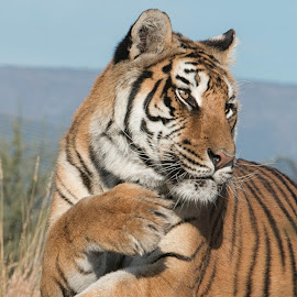 Tiger by Daryl Nickelson - Animals Lions, Tigers & Big Cats ( big cats, animals, wildlife, photography )