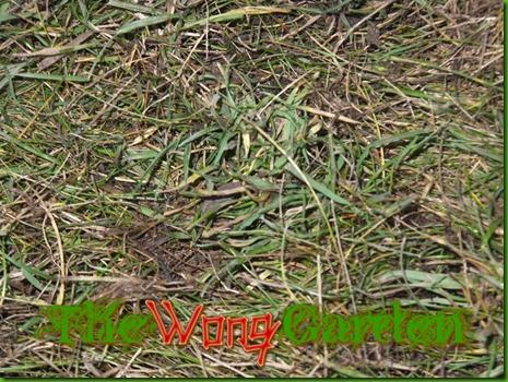 not raked grass