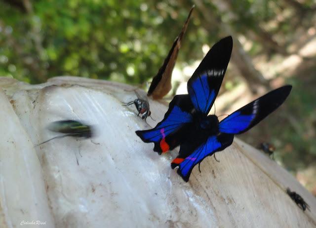 Rhetus periander (CRAMER, 1777), mâle. À proximité du Rio Teles Pires, município de Nova Canaã do Norte (Mato Grosso, Brésil), 11 juin 2011. Photo : Cidinha Rissi