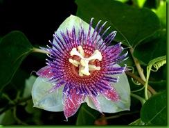 Passiflora maliformis2