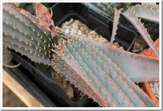 130202_UCDavis_Aloe-suprafoliata_03