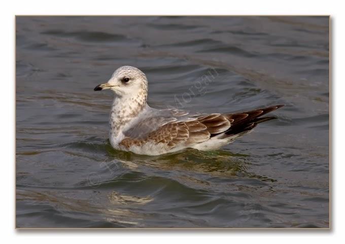 K's Birds 5 C Gull