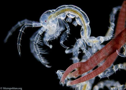 Amazing Pictures of Animals, Photo, Nature, Incredibel, Funny, Zoo, Caprella mutica, Japanese skeleton shrimp, Alex (3)