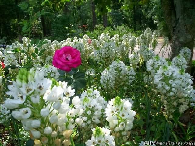 Imagem para face foto de jardim florido com rosa no meio e flores 1923