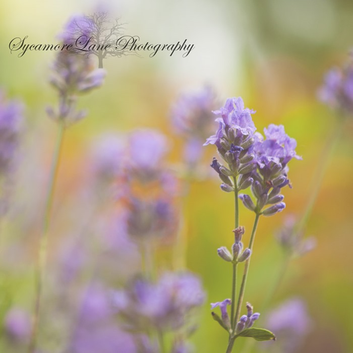 Lavender-SycamoreLane Photography