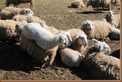 matras uit schapenwol