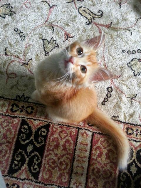 Checklist Bawa anak Kucing baru ke Rumah