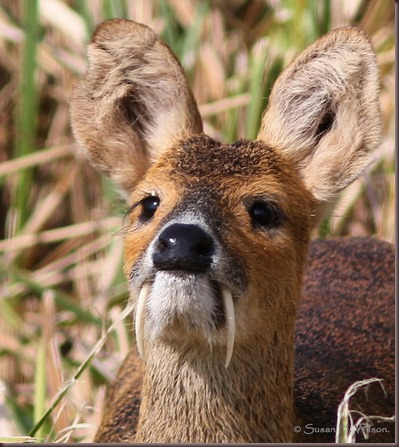 Amazing Animal Pictures Water Deer (1)