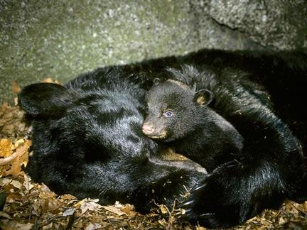 black-bear-hibernation-metabolism-surprises_32353_600x450