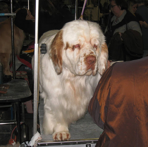 A sleepy looking Clumber Spaniel.