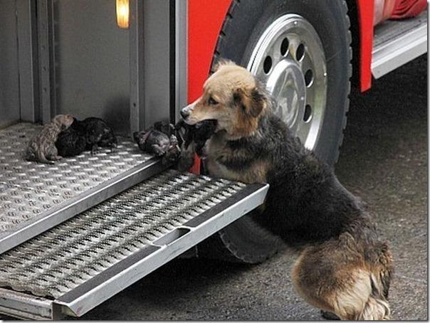cadela salva filhotes (3)