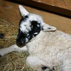 Schafe - Lämmer 15.03.09