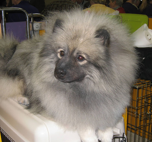 A Keeshond dog -- they're the ultimate furball (no offense, cats).