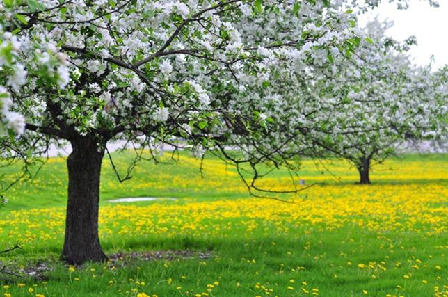 spring_dandelion