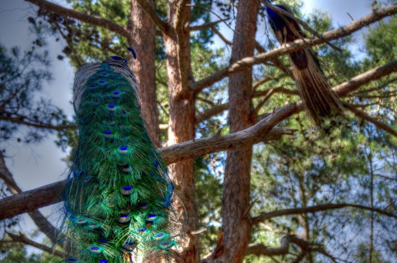 Peacock in Kos