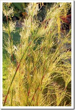 120815_Rhodocoma-capensis