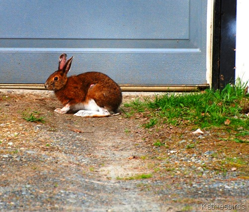 7. Snowshoe hare 1-kab