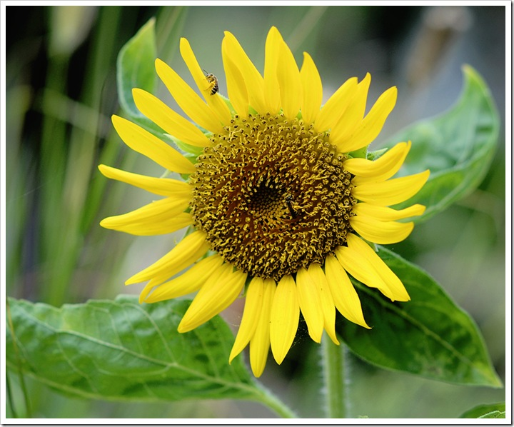 bee-sunflower 005