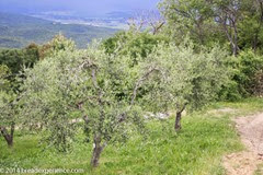 vineyard-olive-grove-6