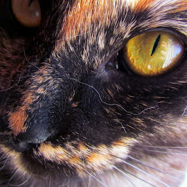 Captivation by Rosalei Nateren - Animals - Cats Portraits ( cat, beautiful, perfect lighting, animal, eye )