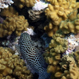 Beautiful Teal and Spotted Fish in the Coral - Noumea, New Caledonia