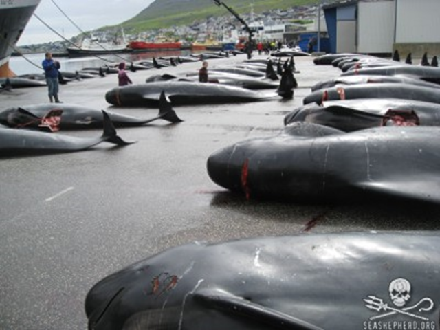 Slaughtered pilot whales are lined up one after another and numbered after a Grind hunt in The Faroe Islands. Photo: Sea Shepherd