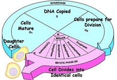 cell cycle (2)